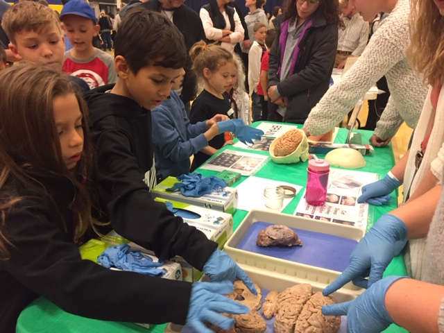 Students with gloves touching human brains